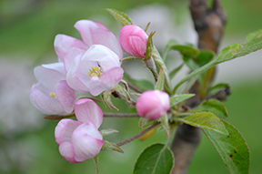 Forget cherry blossoms - apple blossom season is a major attraction