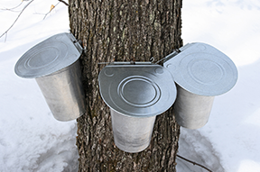 See the forest-to-fork process of maple syrup