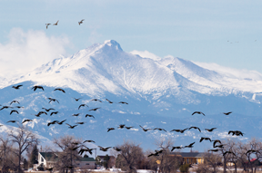 Witness the snow geese migration